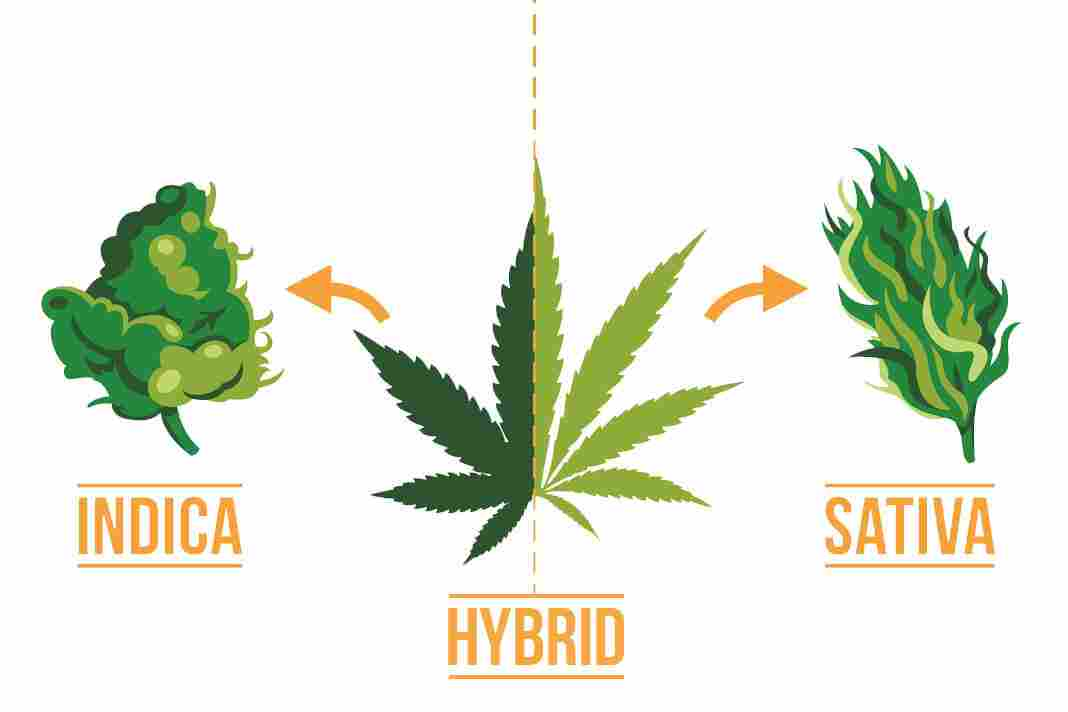 Sativa Indica vs Hybrid Strains