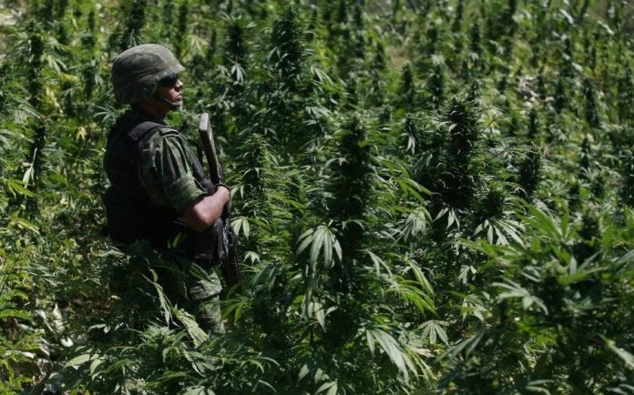 Army Men on Marijuana Farm