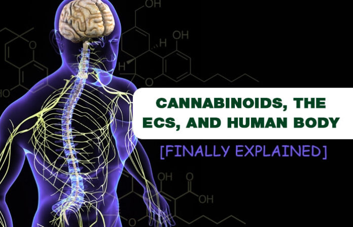 Cannabinoids, The ECS, And Human Body