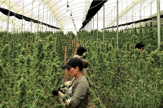 Cannabis Cultivation Supply Chain