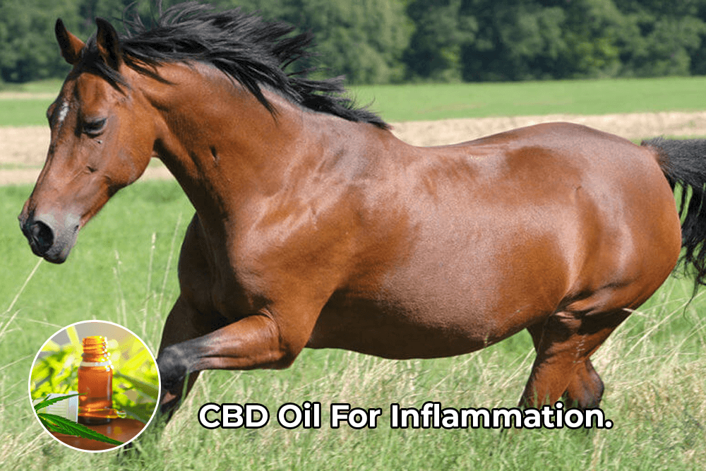 CBD helps with inflammation for Horses