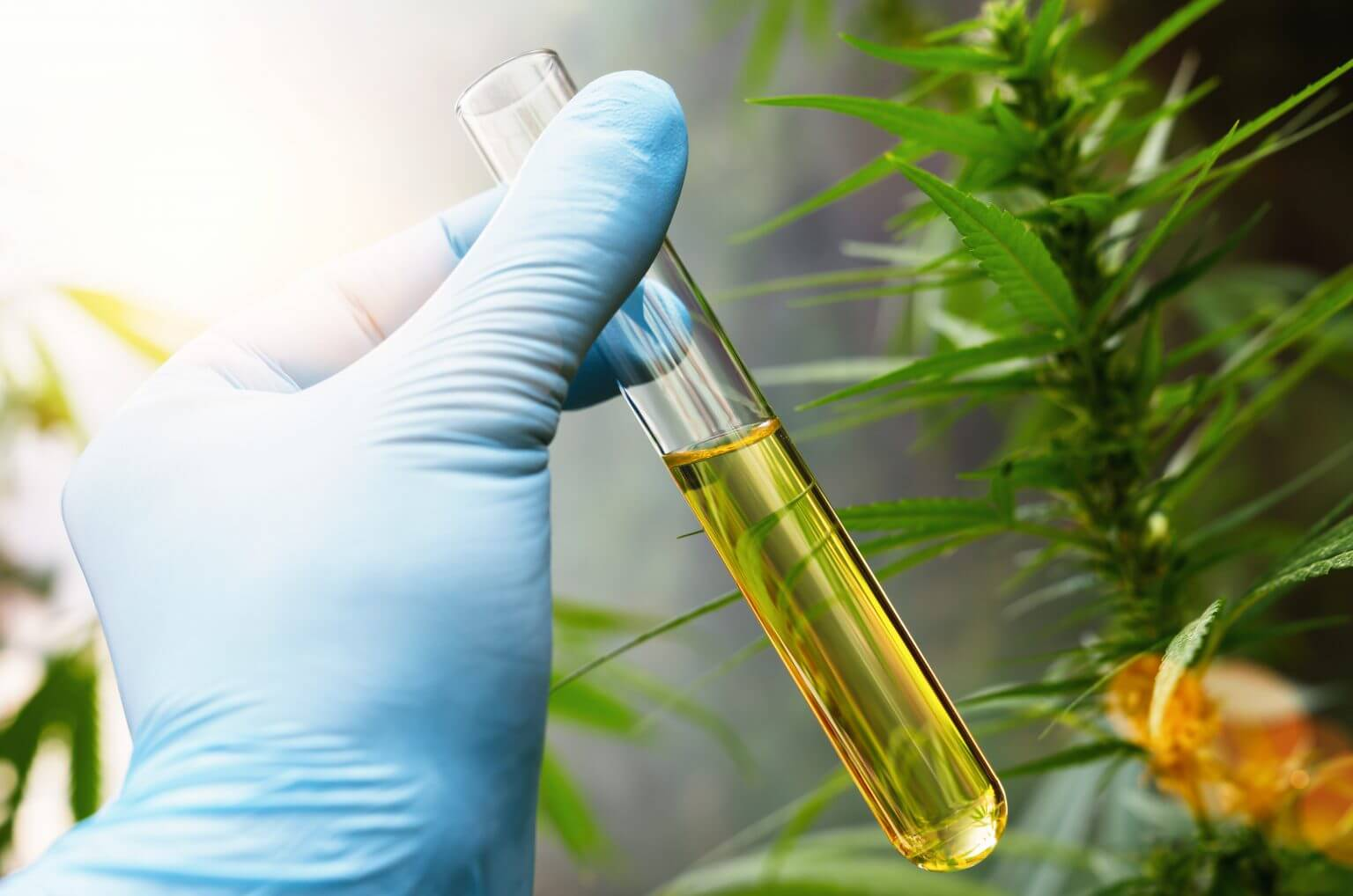 CBD Oil Extracting From Hemp Plant