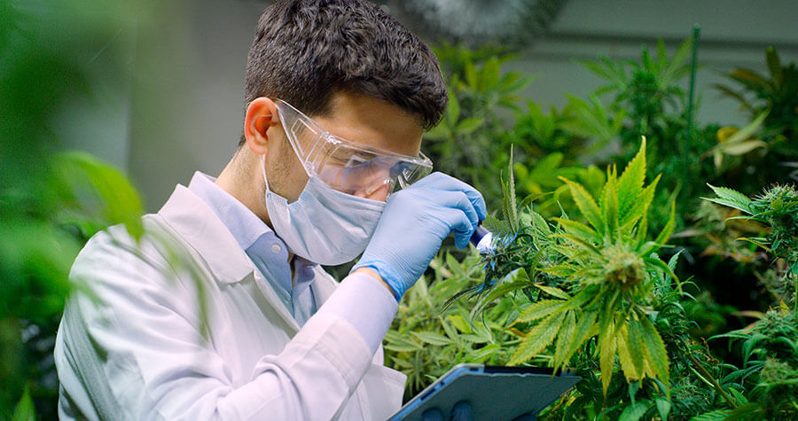 Man Checking Quality of Hemp Plant