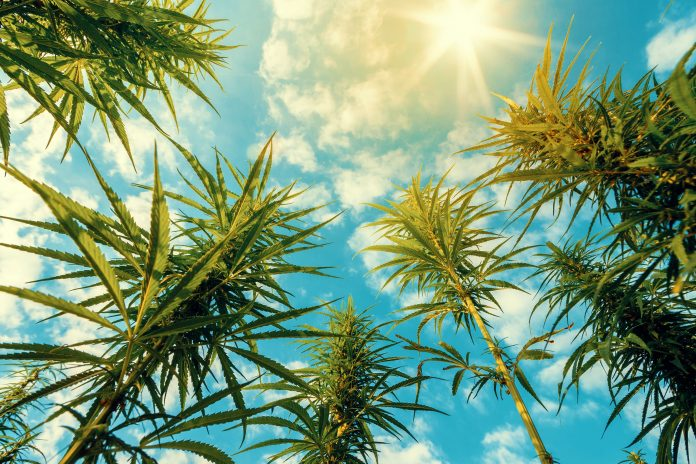 Sunshine On Medical Marijuana Trees